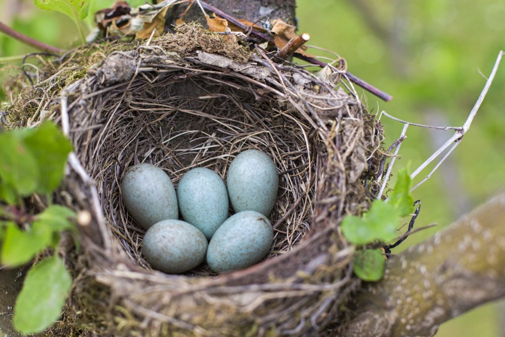 Bird's nest containing five blue eggs.