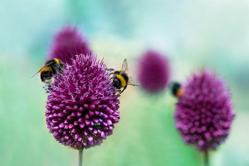 Close up of honey bees on purple allium flower heads.