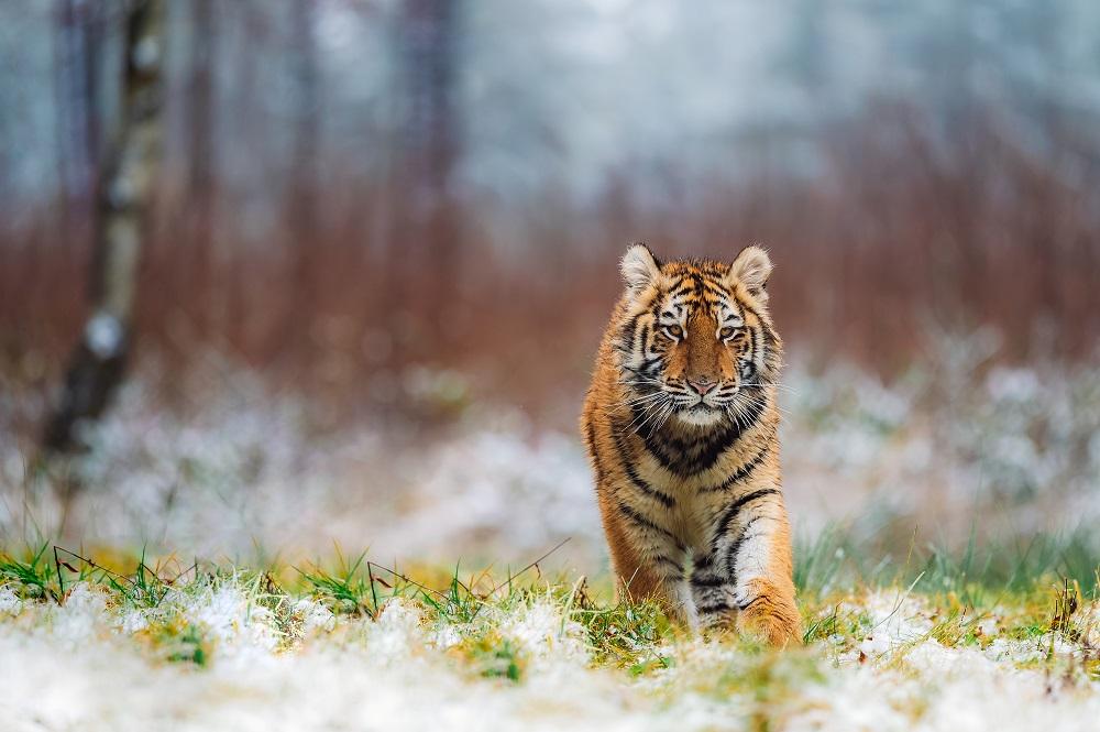 Siberian tiger on snowy grassland walking towards the viewer.